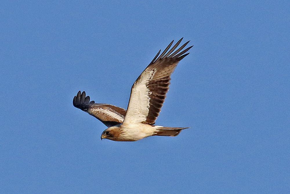 Орел-карлик (лат. Hieraaetus pennatus)