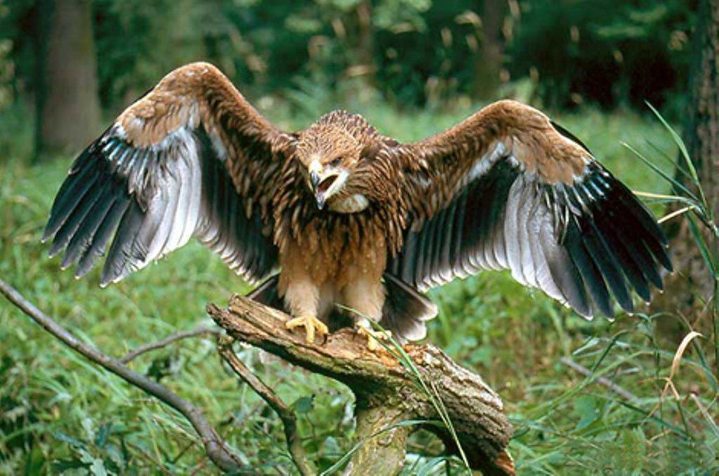 Могильник (лат. Aquila heliaca)