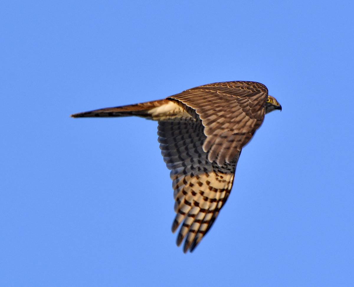 Ястреб-перепелятник (лат. Accipiter nisus)