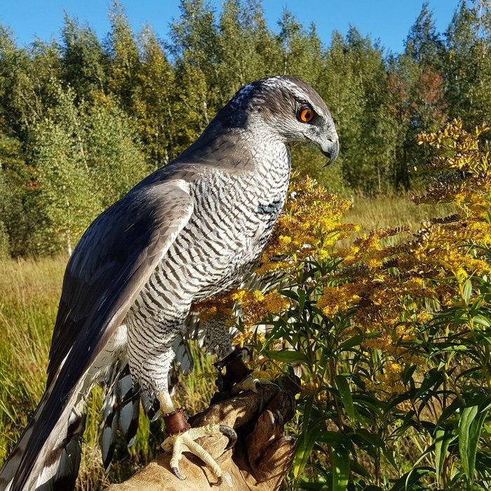 Ястреб-тетеревятник (лат. Accipiter gentilis)