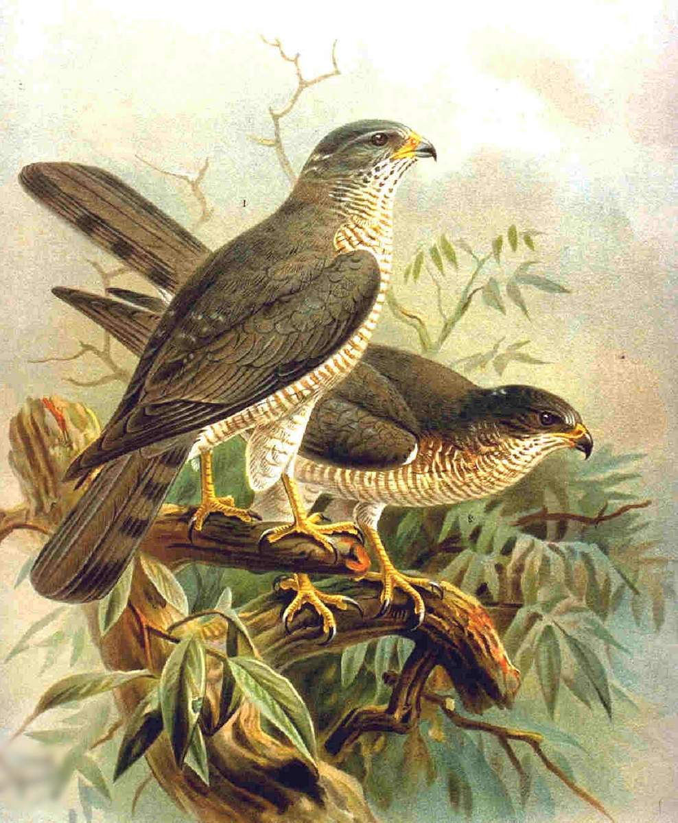 Европейский тювик (лат. Accipiter brevipes)