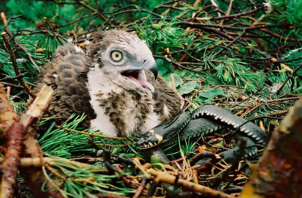 Змееяд (лат. Circaetus gallicus)