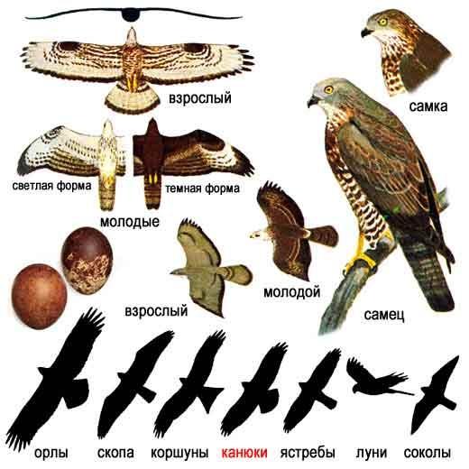 Обыкновенный осоед (лат. Pernis apivorus)