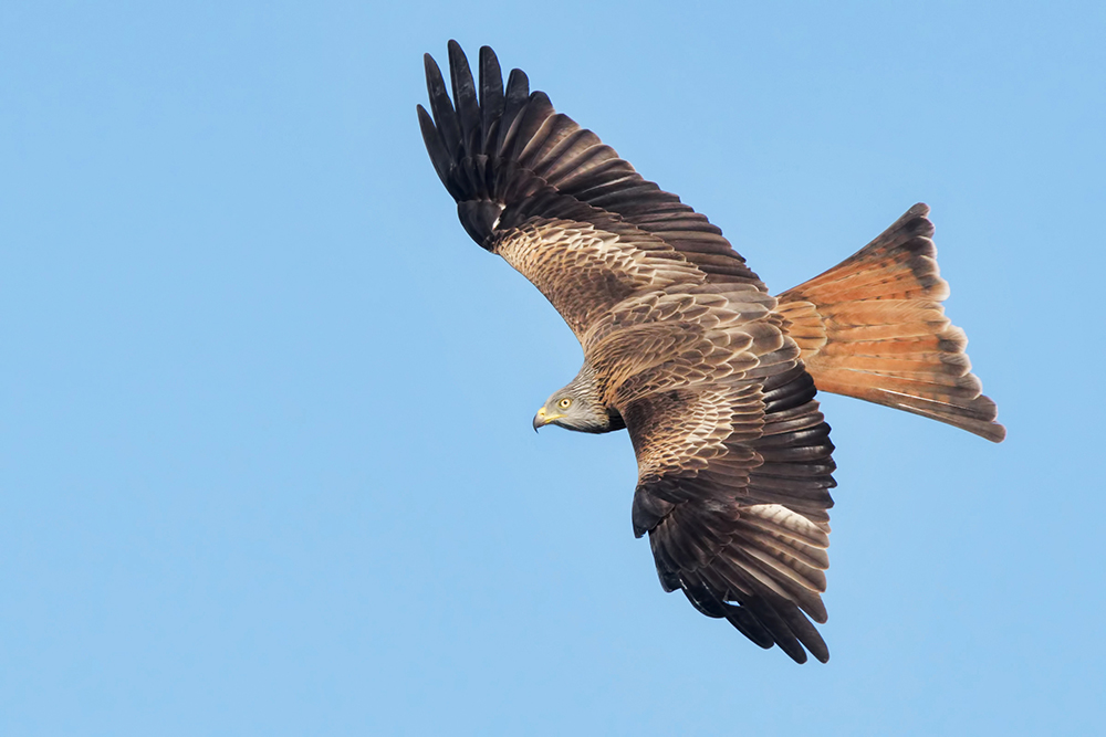 Чёрный коршун (лат. Milvus migrans)