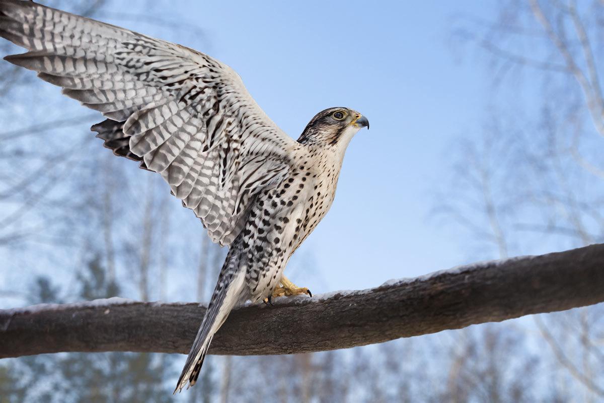 Балобан (лат. Falco cherrug)