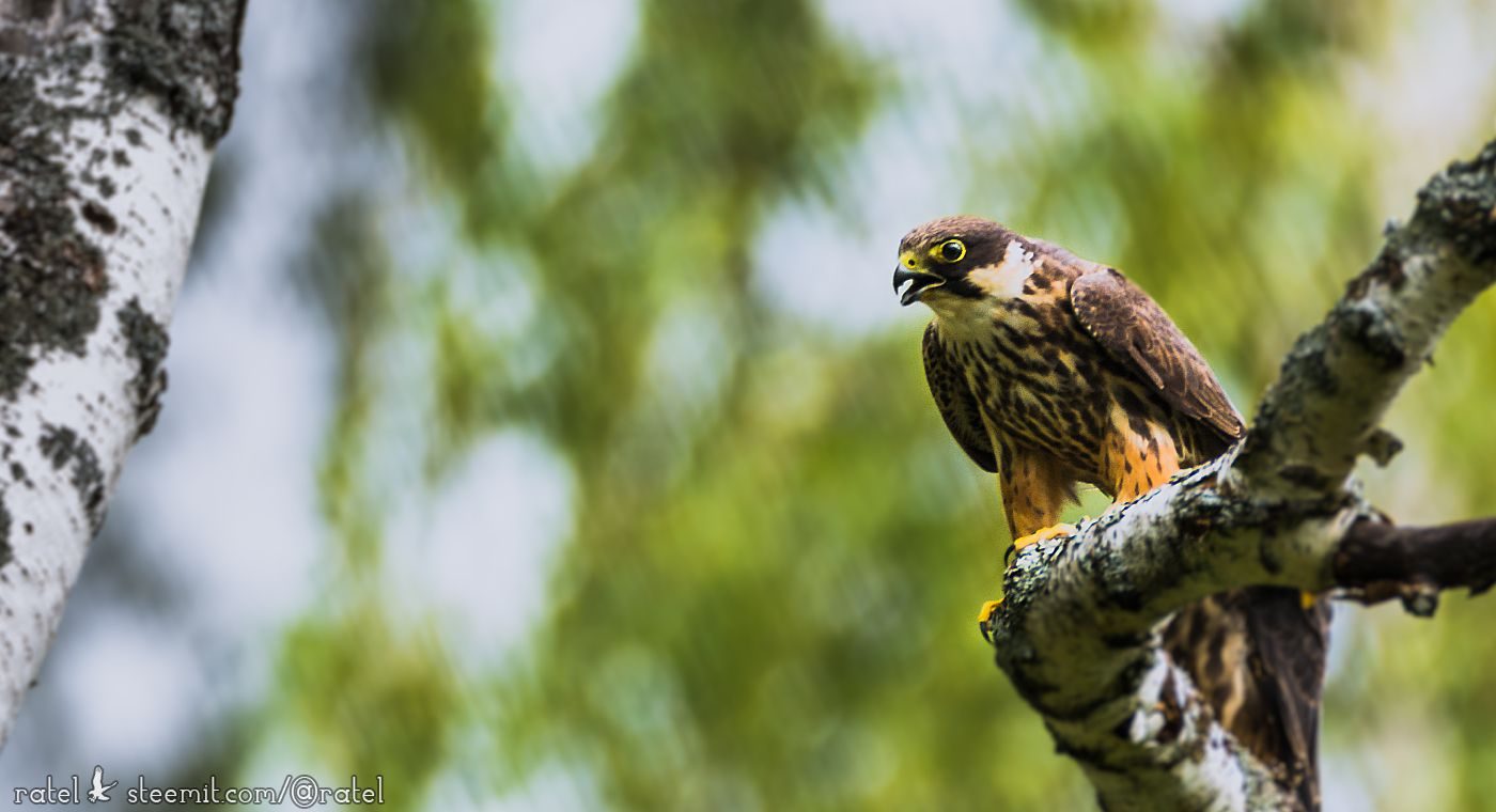 Чеглок (лат. Falco subbuteo)