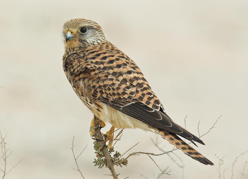 Обыкновенная пустельга (лат. Falco tinnunculus)