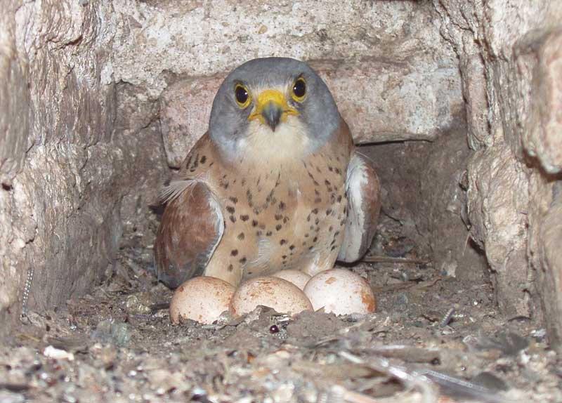 Степная пустельга (лат. Falco naumanni)