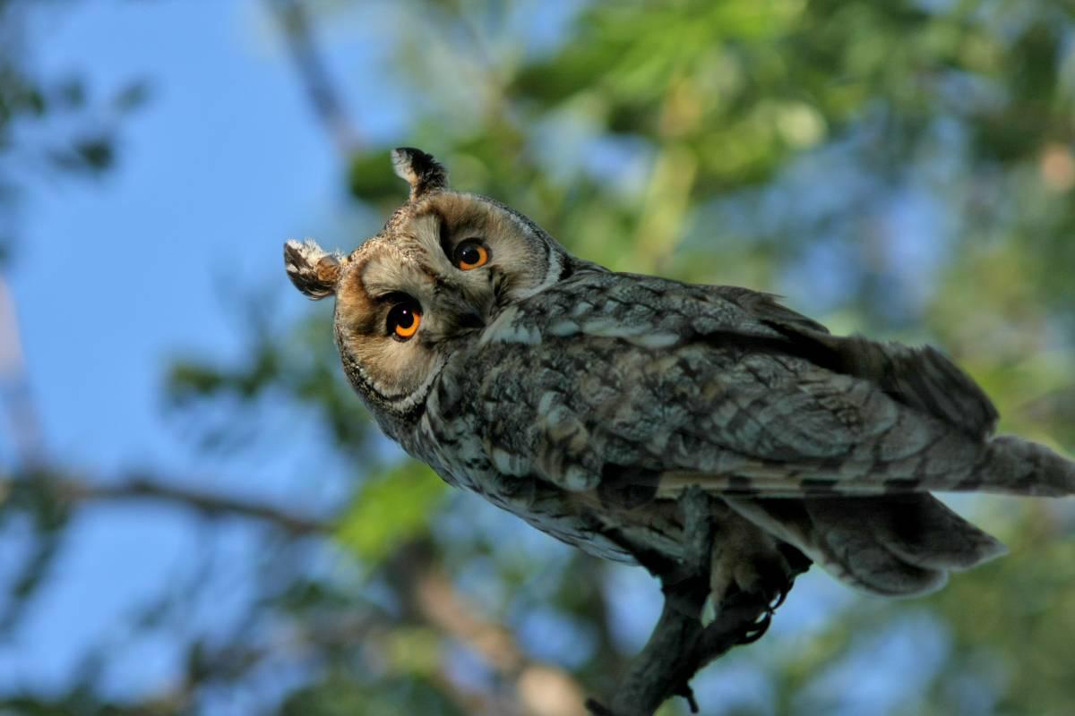 Ушастая сова (лат. Asio otus)