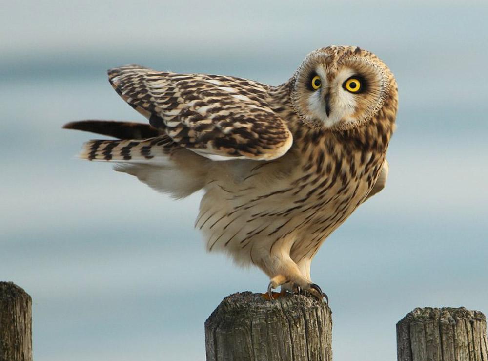 Болотная сова (лат. Asio flammeus)