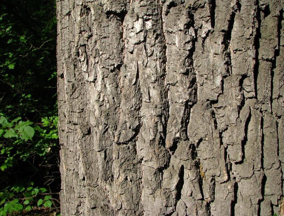 Дуб черешчатый (лат. Quércus róbur)