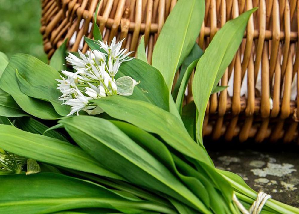 Черемша, или Лук медвежий (лат. Allium ursínum)
