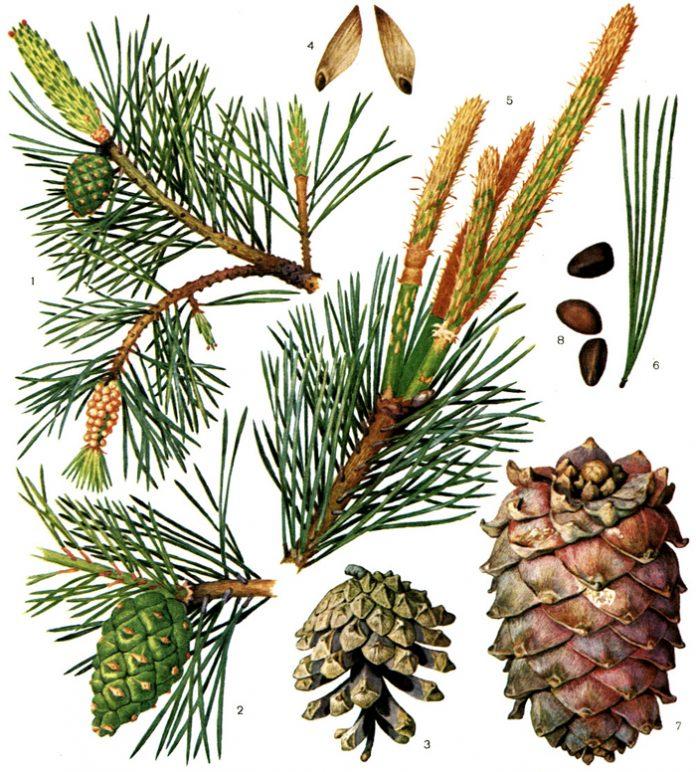 Сосна обыкновенная (лат. Pínus sylvéstris)