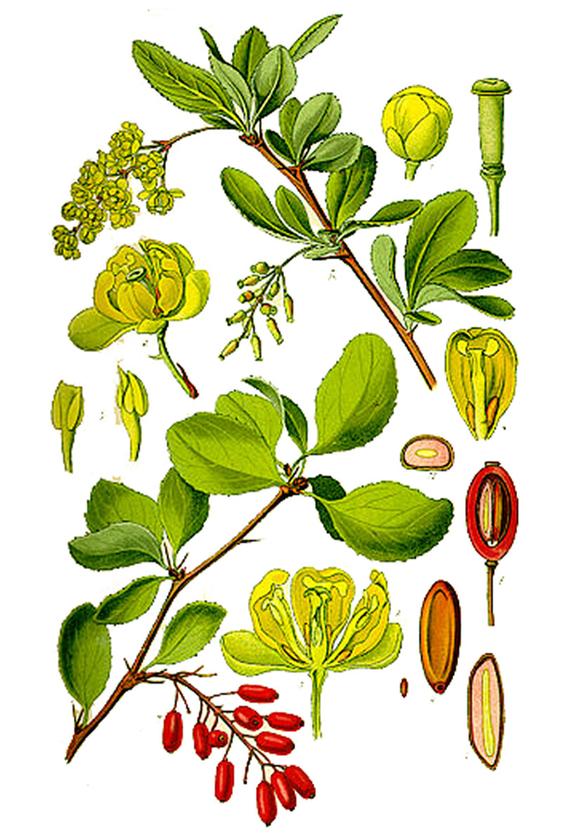 Барбарис обыкновенный (лат. Bérberis vulgáris)