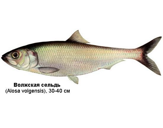 Волжская сельдь (лат. Alosa volgensis), Черноспинка, или залом (лат. Alosa kessleri)