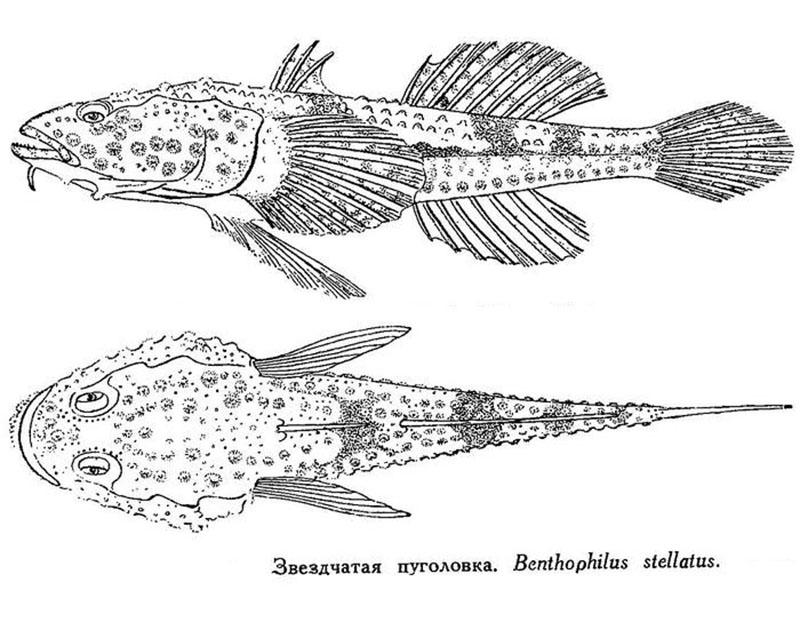 Пуголовка звездчатая (лат. Benthophilus stellatus)