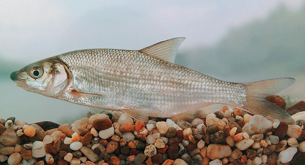 Рыбец (лат. Vimba vimba)
