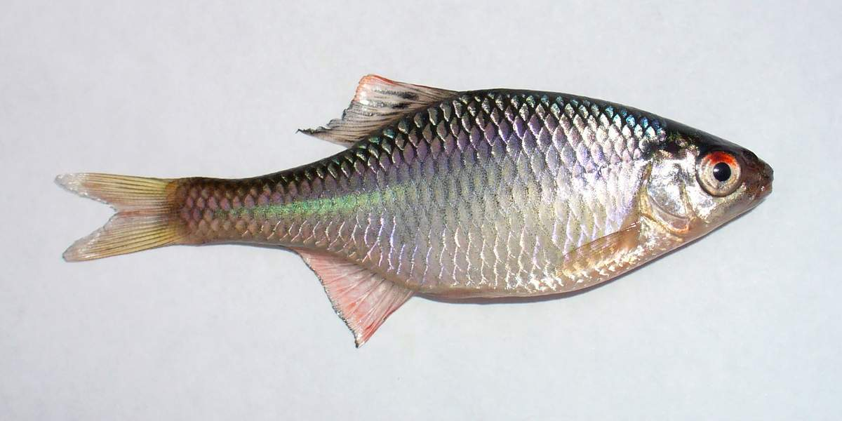 Горчак  (лат.  Rhodeus sericeus)
