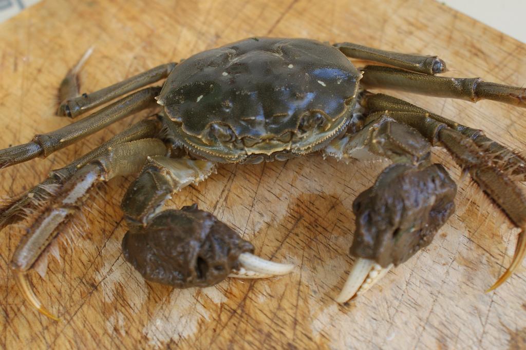 Китайский мохнаторукий краб (лат. Eriocheir sinensis)