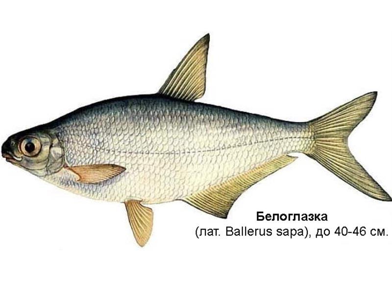 Белоглазка, или сопа (лат. Ballerus sapa)