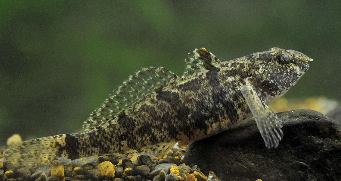 Бычок-цуцик (лат. Proterorhinus semipellucidus)