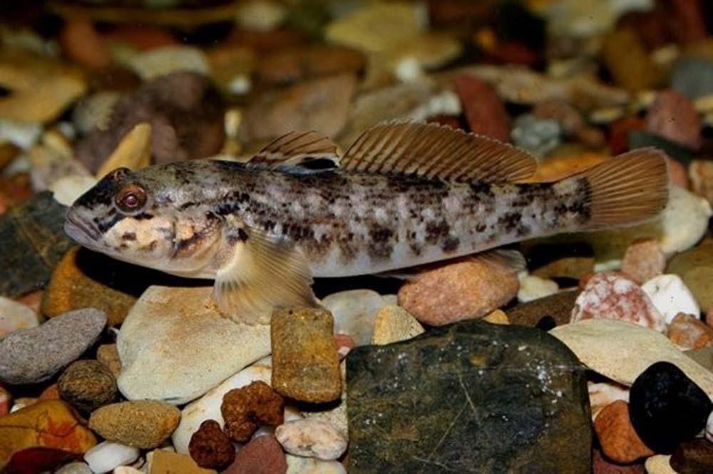 Бычок-кругляк (лат. Neogobius melanostomus)