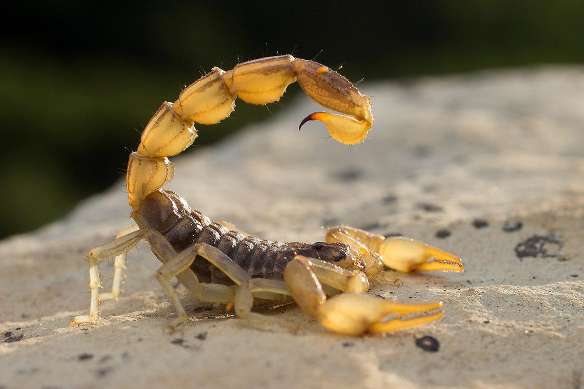 Скорпион пестрый (лат. Mesobuthus eupeus)