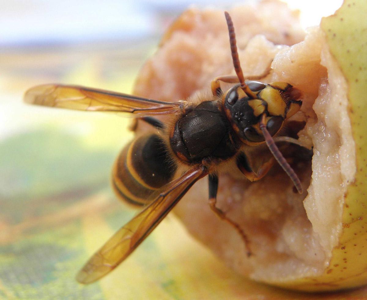 Шершень обыкновенный (лат. Vespa crabro)