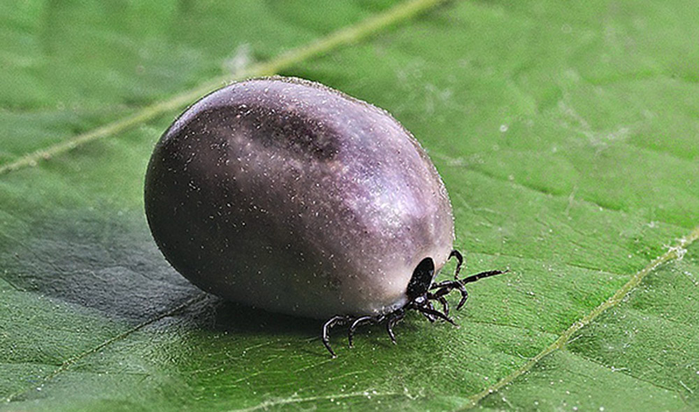 Иксодовые клещи (лат. Ixodidae)