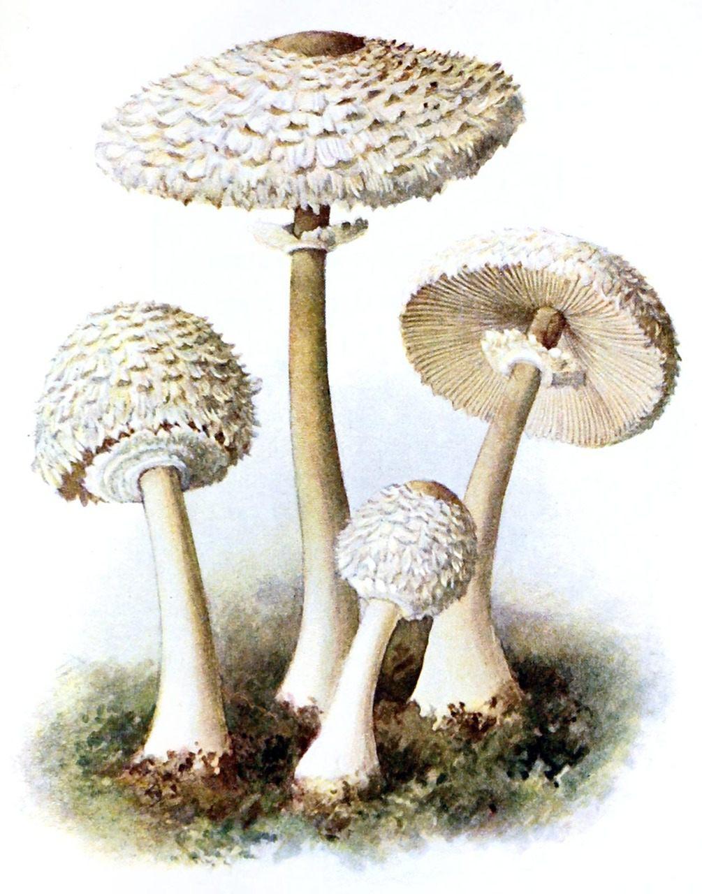 Лепиота Бребиссона (Leucocoprinus brebissonii)