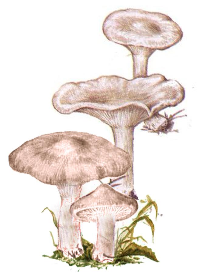 Говорушка восковатая (лат. Clitócybe phyllóphila)