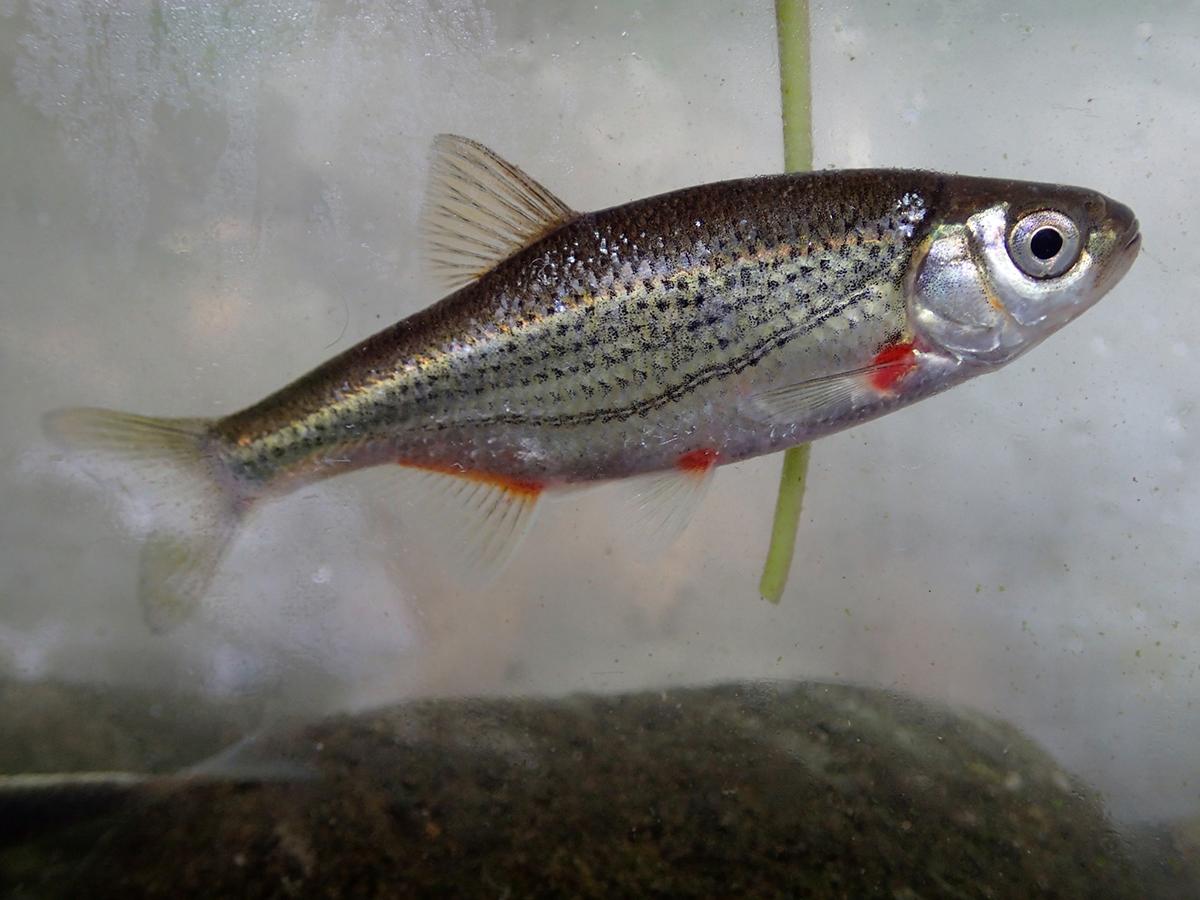 Русская быстрянка (лат. Alburnoides rossicus)
