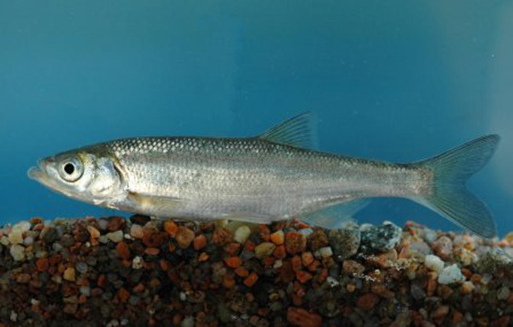 Шемая азово-черноморская (лат. Alburnus mento)