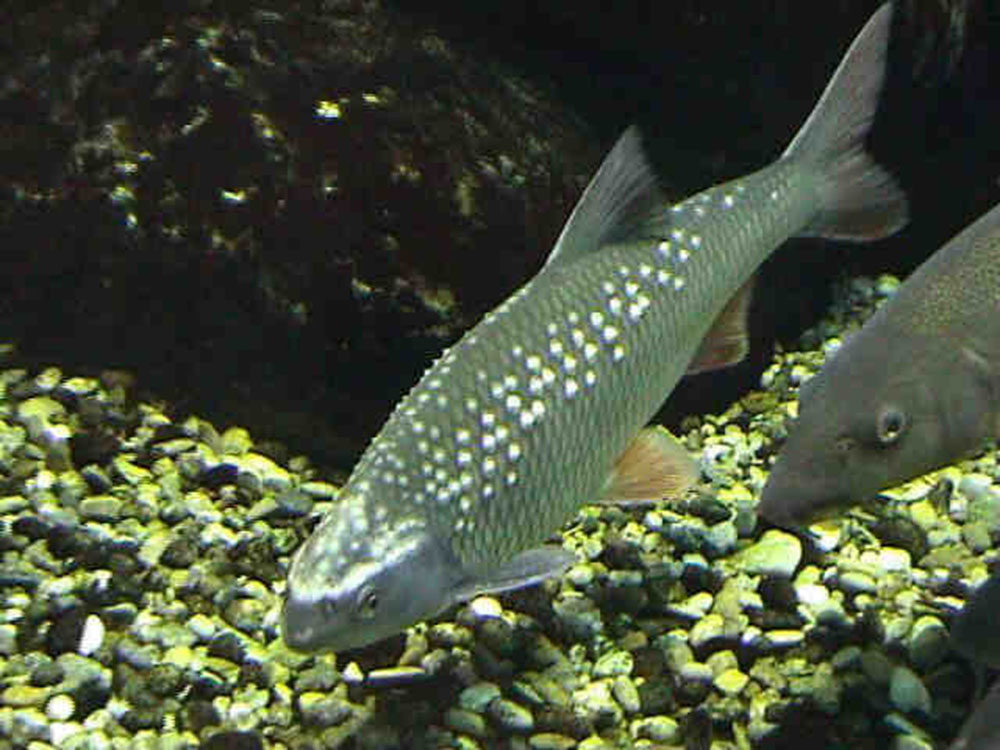 Вырезуб, или кутум (лат. Rutilus frisii)