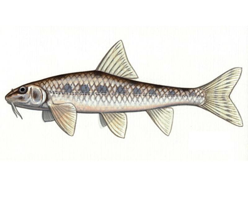 Белопёрый пескарь (лат. Romanogobio albipinnatus)
