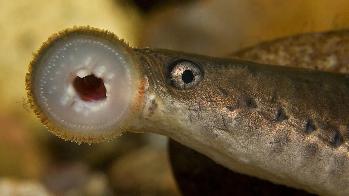Каспийская минога  (лат. Caspiomyzon wagneri)