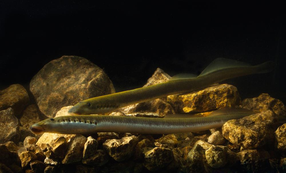 Украинская минога (лат. Eudontomyzon mariae)