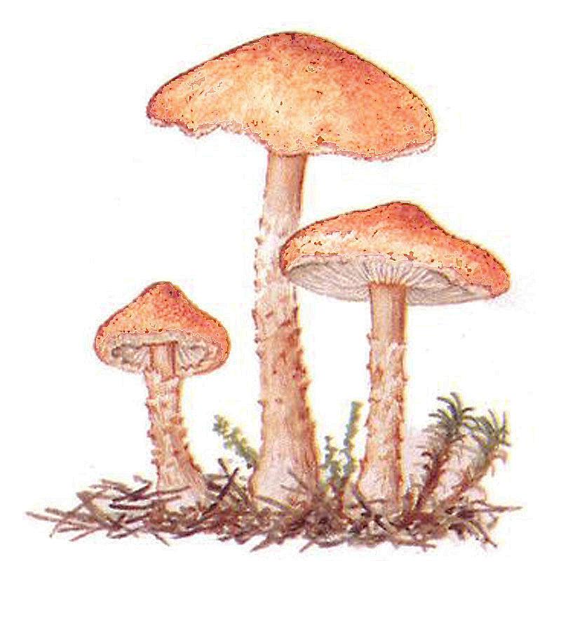 Лепиота розоватая (лат. Lepiota subincarnata)
