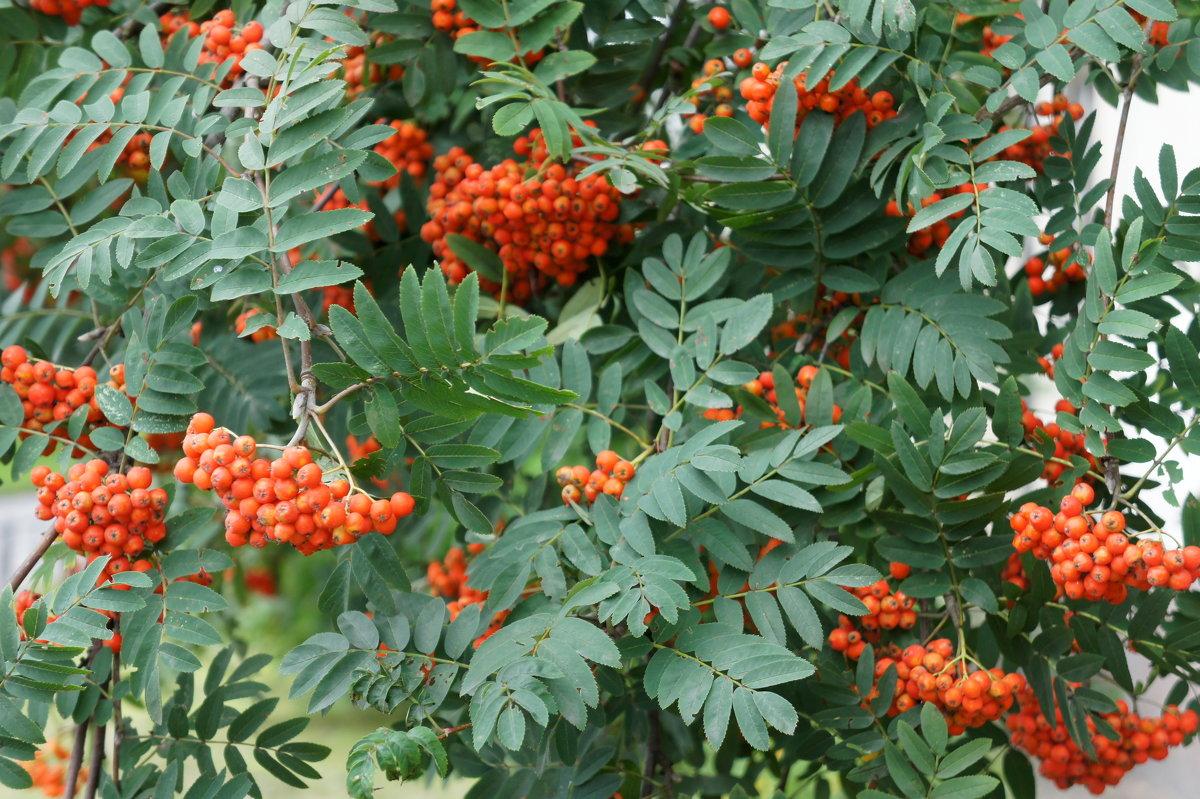 Рябина обыкновенная (лат. Sórbus aucupária)