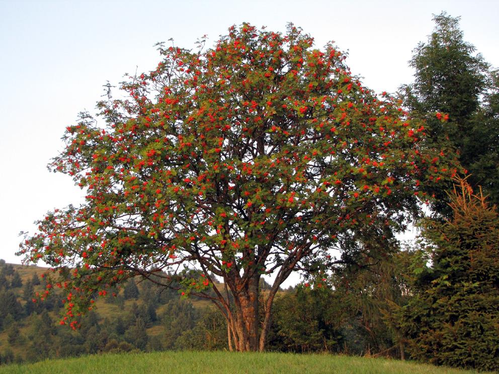 Рябина обыкновенная (лат. Sorbus aucuparia)