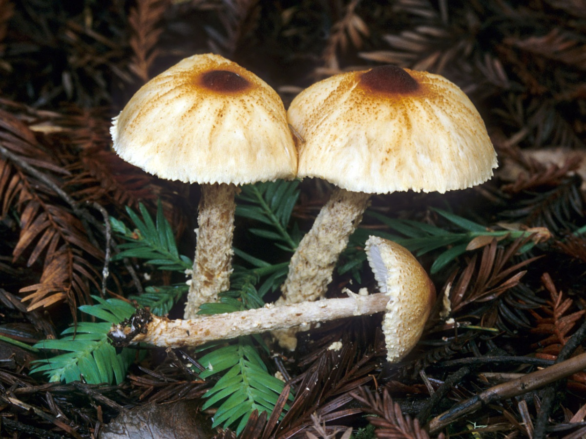 Лепиота вздутоспоровая (лат. Lepiota magnispora)
