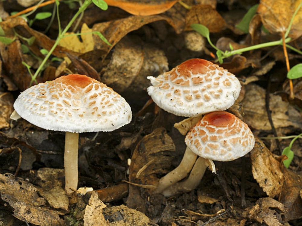Лепиота гребенчатая (лат. Lepiota cristata)