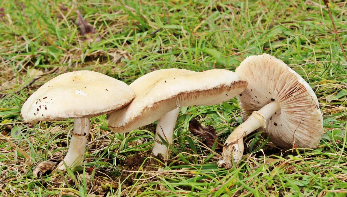 Белошампиньон румянящийся (Leucoagaricus leucothites)