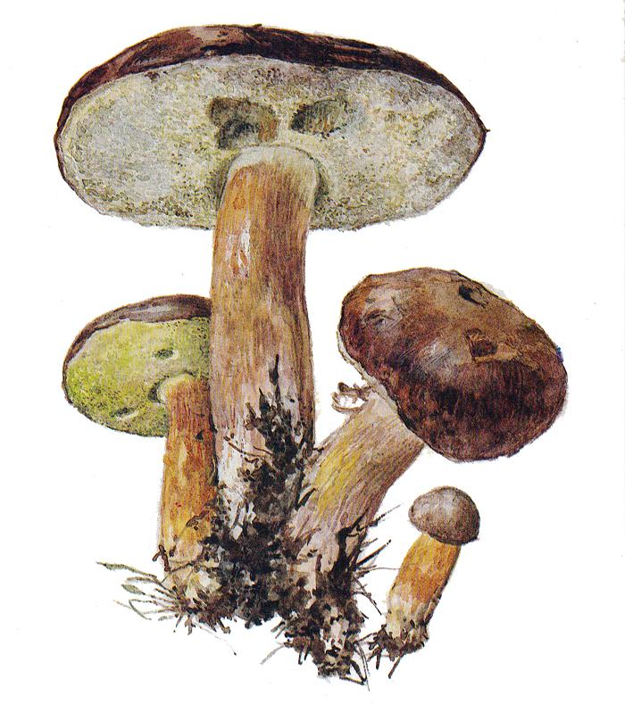 Польский гриб, или моховик каштановый (лат. Boletus badius)