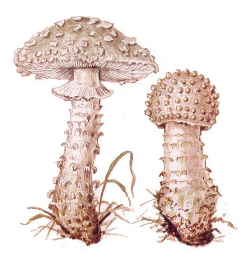 Мухомор Виттадини (лат. Amanita vittadinii)
