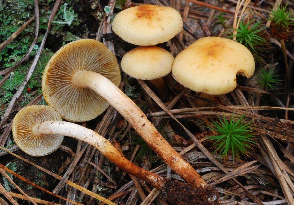 Опёнок серопластинчатый (Hypholoma capnoides)