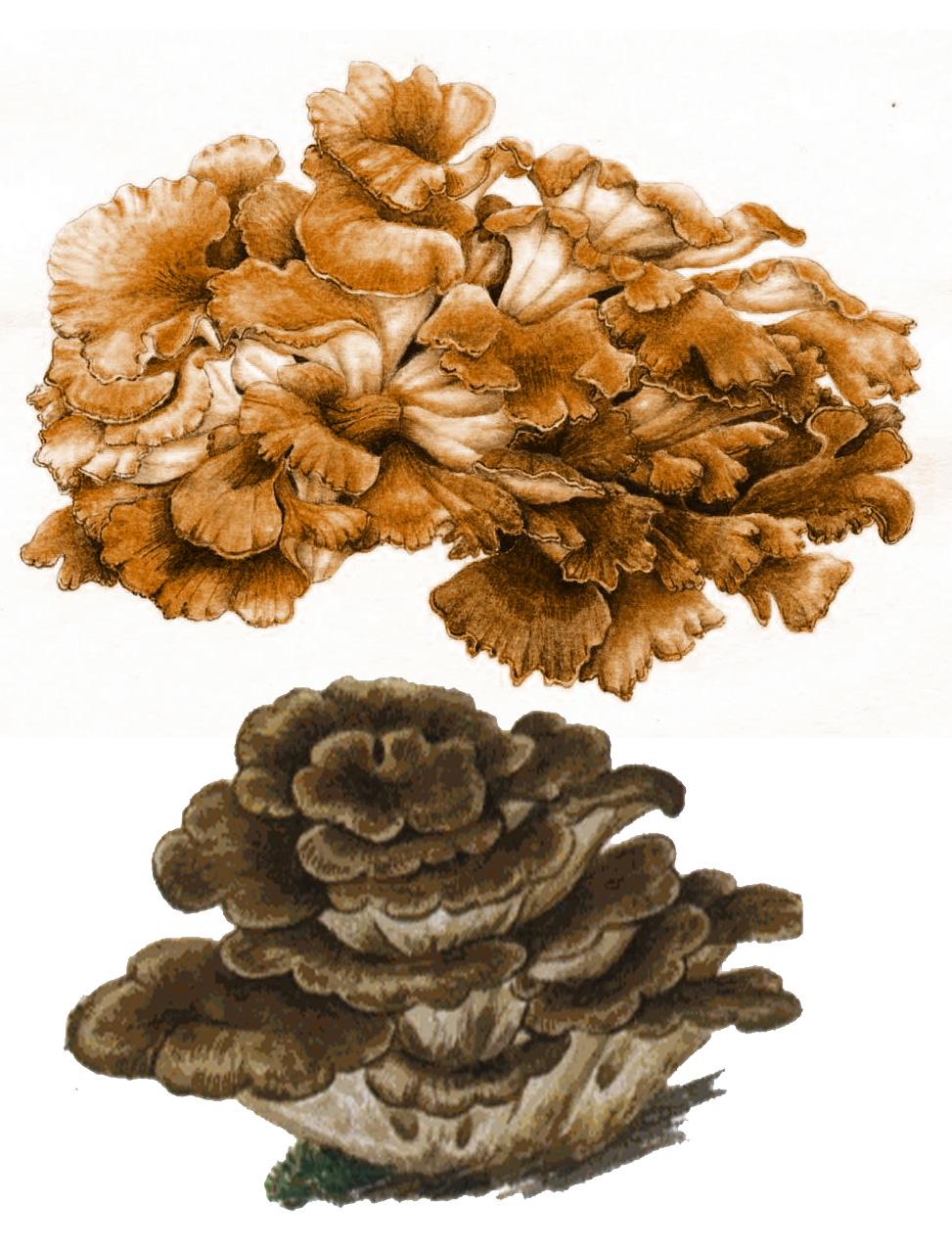 Гриб-баран (лат. Grifola frondosa)
