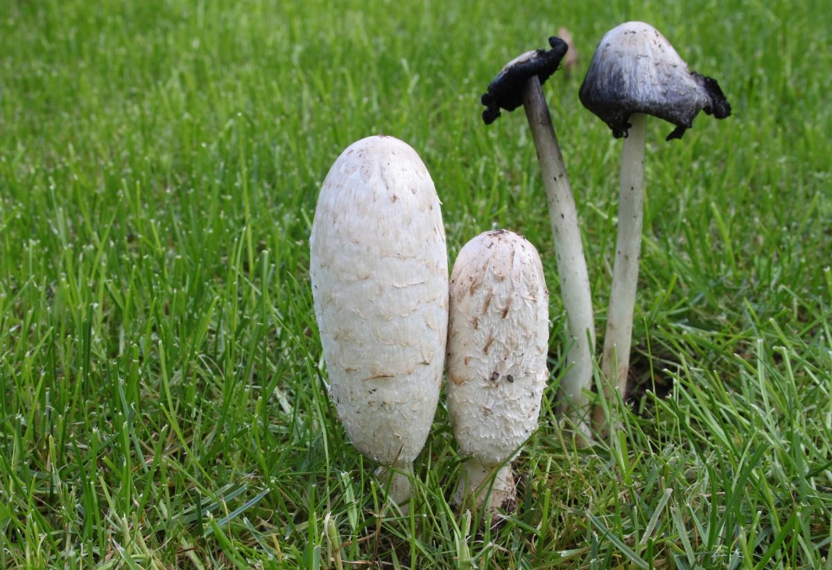 Навозник белый (лат. Coprinus comatus)