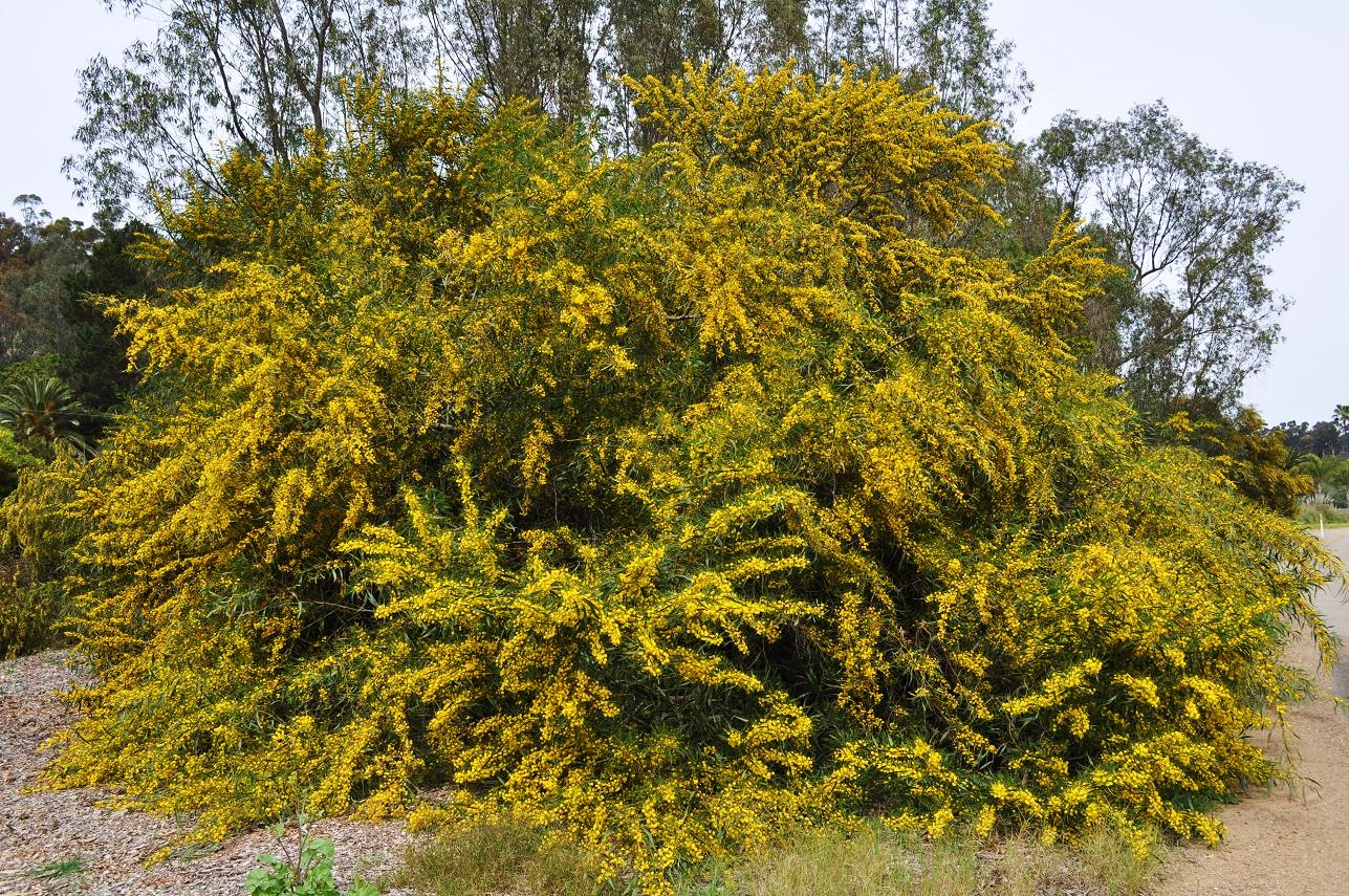 Жёлтая акация (лат. Caragána arboréscens)