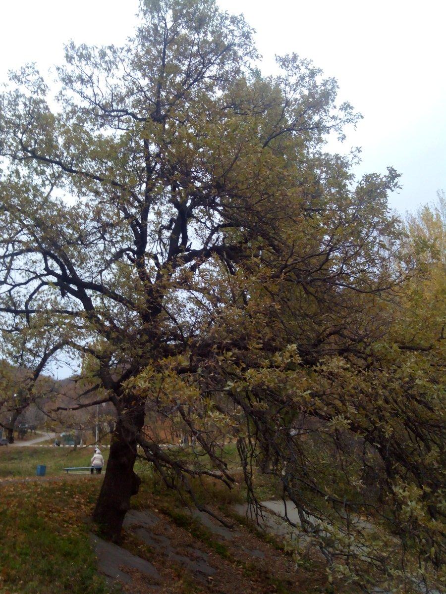 Игумнов столетний дуб